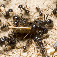 Ants removal - Ants & Termites Specialist